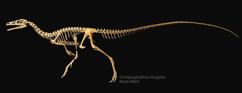 Compsognathus-skeleton-Bruce-Mohn-1500.jpg