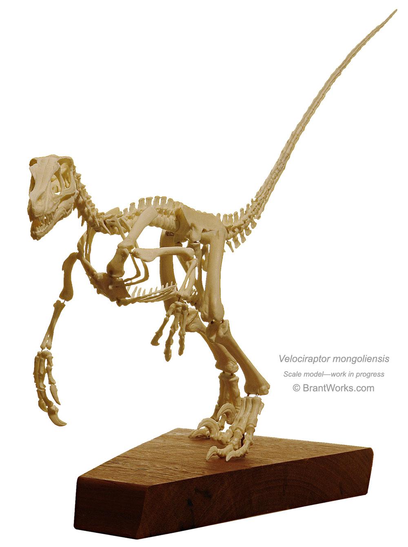 Velociraptor 3d skull – Oliver E. Demuth |Velociraptor Skull Front