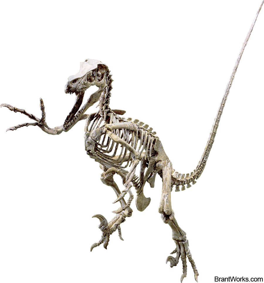 Velociraptor Skeleton Pictures