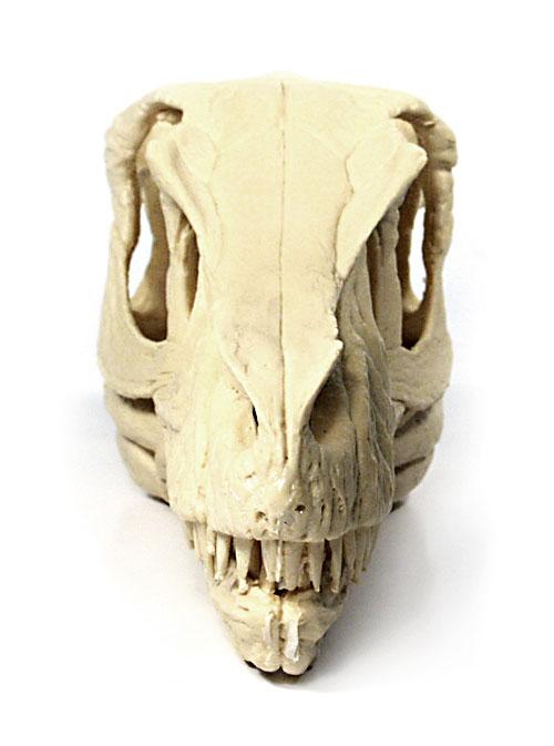 Velociraptor Mongoliensis Skull, Polyurethane Resin, Life ... |Velociraptor Skull Front